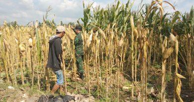 Serka Sudioko Dampingi Petani Monitoring Tanaman Jagung Sebelum Masa Panen