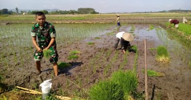 Tingkatkan Luas Tambah Tanam, Serda Parman Dampingi Petani Menanam Padi