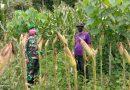 Babinsa Doho Pantau Pertumbuhan Jagung Petani Guna Tingkatkan Ketahanan Pangan