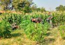 Perawatan Lahan Dukung Hasil Kebun Ketahanan Pangan Lokal