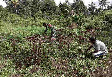Babinsa Posramil 1708-01 Biak Timur Bantu Warga Bersihkan Lahan Kebun Sayur