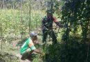 Bantu Tingkatkan Ekonomi Warga, Babinsa Yapsel Dampingi Petani Sayuran