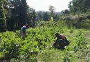 Maksimalkan Hasil Produksi Tanaman Terong, Babinsa Yapsel Lakukan Pendampingan Petani